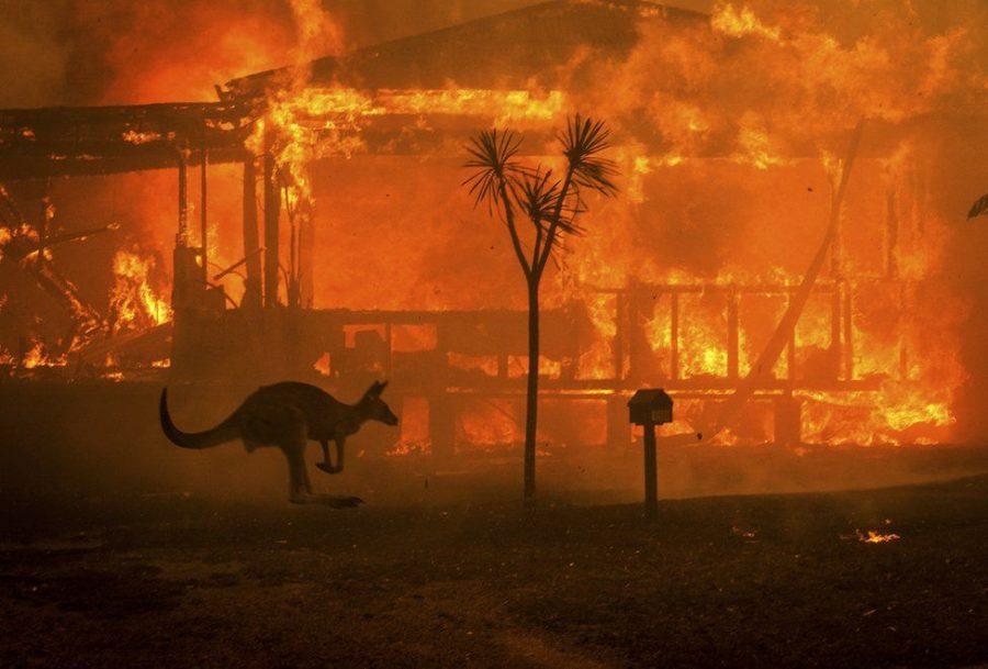 Kangaroo hopping through the fires